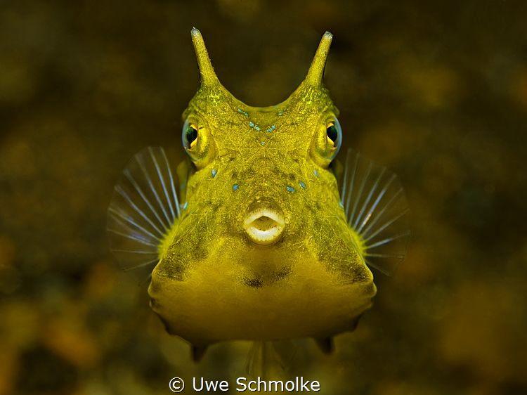 Golden Cowfish by Uwe Schmolke