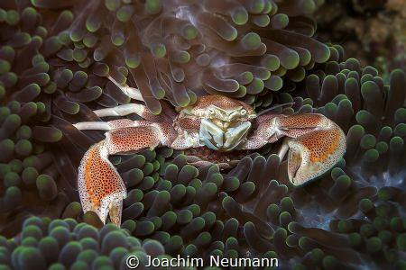 porcelain crab by Joachim Neumann