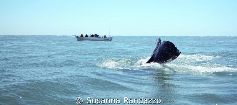 Baja California , on the wild Pacific coast of Mexico , t... by Susanna Randazzo