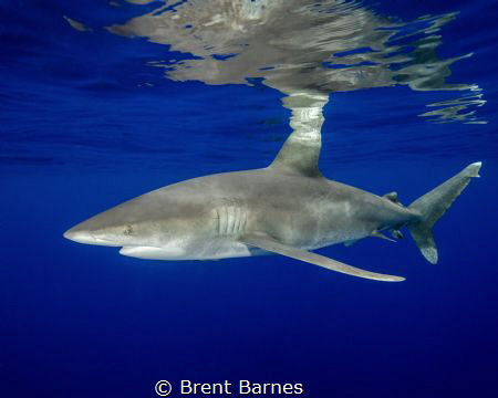 An oceanic white tip shark with surface reflection taken ... by Brent Barnes