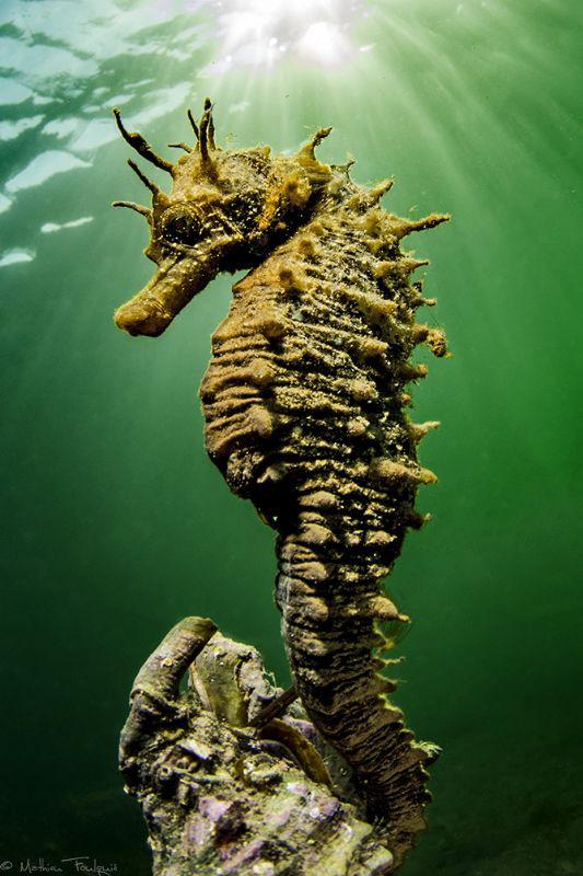 Hippocampus guttulatus #3 by Mathieu Foulquié