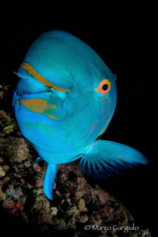 Parrot Fish by Marco Gargiulo