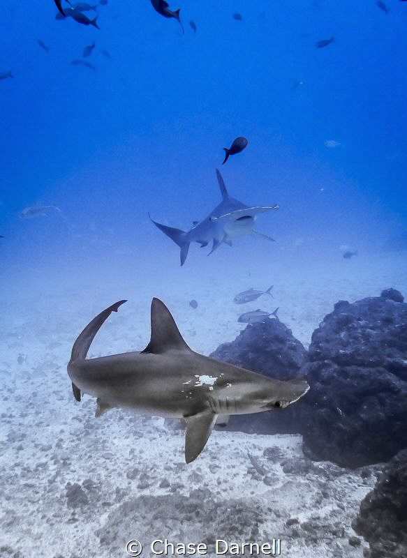"""""""Hammer Time"""" Dancing Hammerheads over a sandy bottom! by Chase Darnell"""