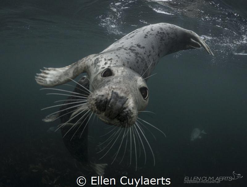 Playful seals in Farne Islands! by Ellen Cuylaerts
