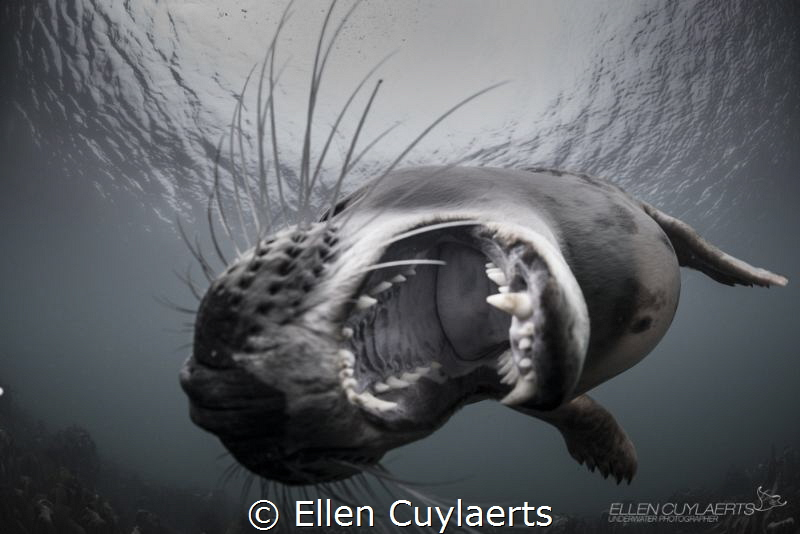 Grey seal with leopard attitude Farne Islands UK by Ellen Cuylaerts