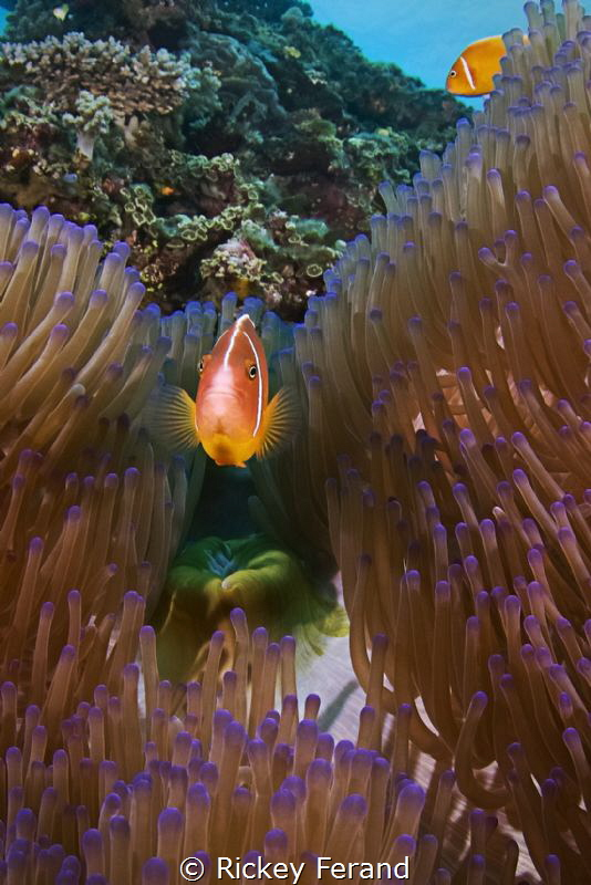 Skunk Clown and Anemone by Rickey Ferand
