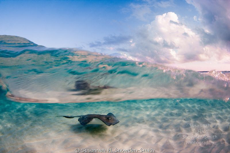 """""""This Is Why I Live Here!"""" A stingray is seen through th... by Susannah H. Snowden-Smith"""