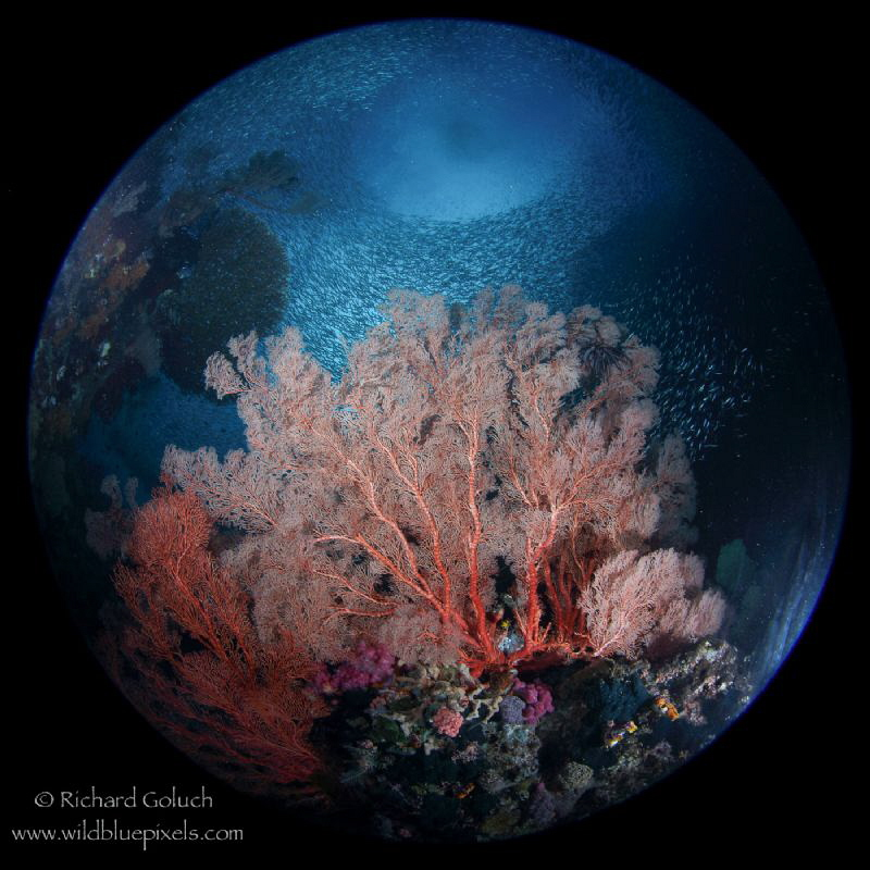 """""""Planet Raja""""-coral garden with school of Anchovies at Tw... by Richard Goluch"""