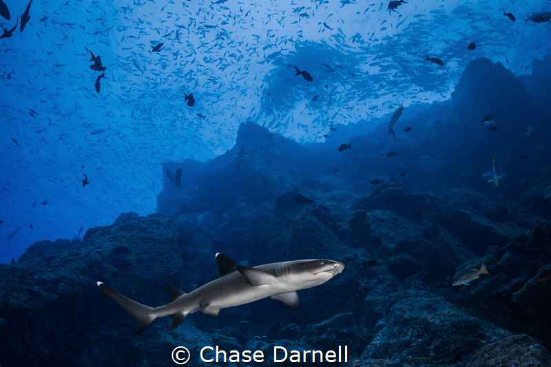 """""""White Tip Cruising"""" A White Tip swims along a rocky slo... by Chase Darnell"""