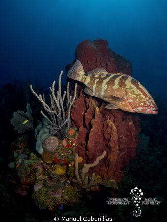 Passing by  Nassau Grouper (Epinephelus striatus), Roat... by Manuel Cabanillas