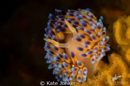 Gasflame Nudibranch by Kate Jonker