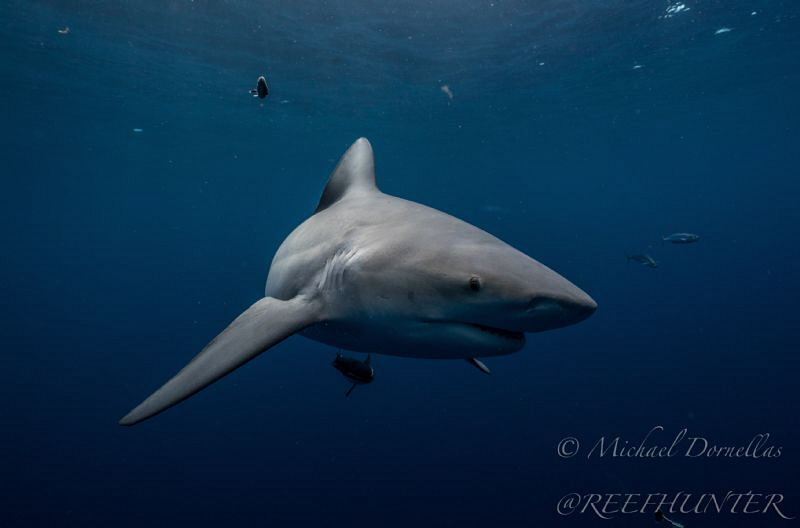 Up close free diving with Bull sharks by Michael Dornellas