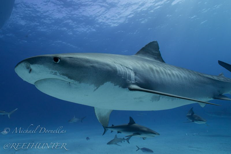 Tiger shark free diving by Michael Dornellas