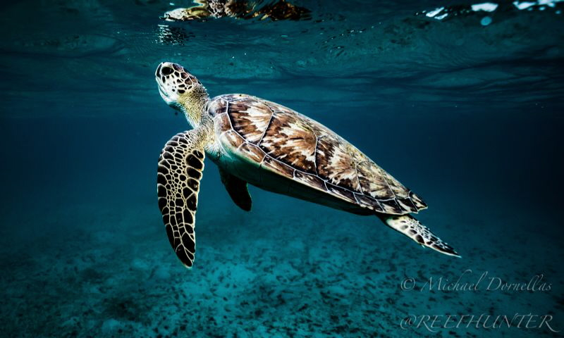 Green sea turtle coming up for air by Michael Dornellas