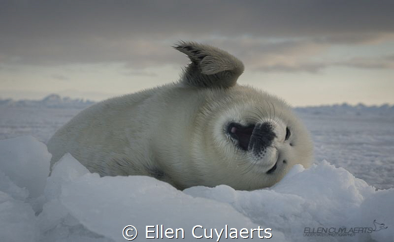 Harp seal pup on the ice by Ellen Cuylaerts