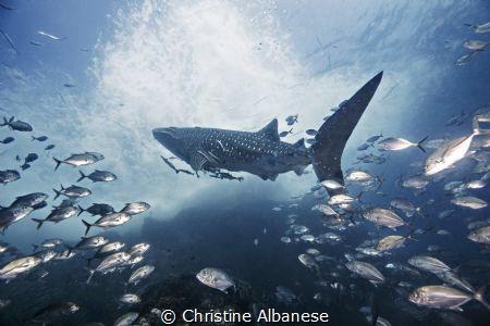 Whaleshark and Entourage of Jacks - Sailrock, Thailand  by Christine Albanese