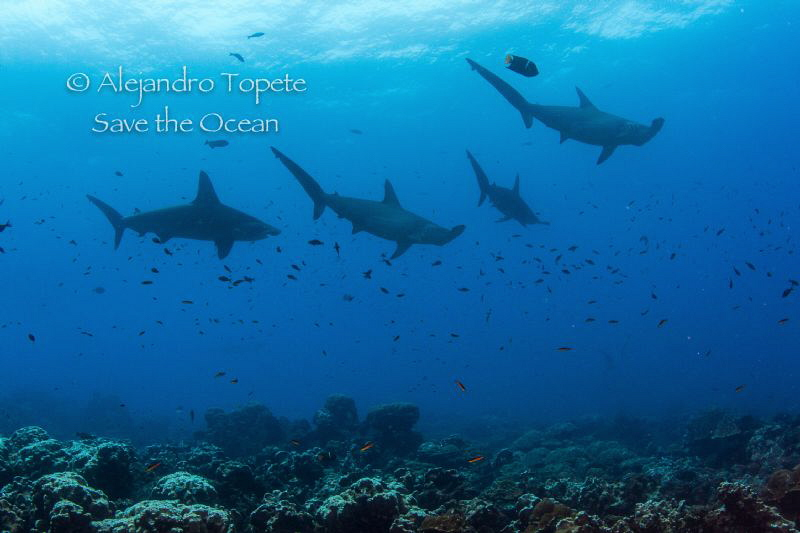 Hammerheads, Darwing Island  Galapagos by Alejandro Topete