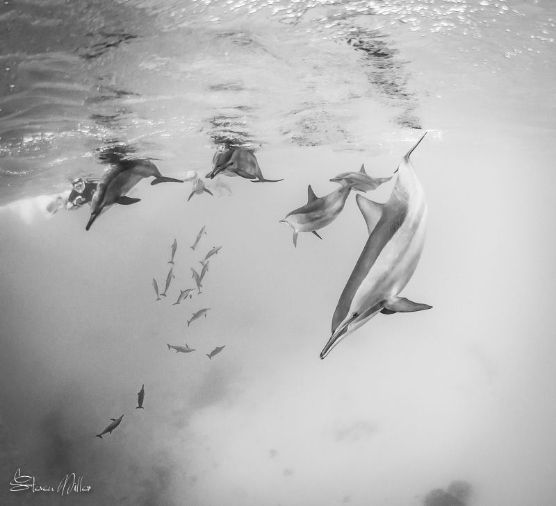 Dolphin rush. They always look slow and easy in still ima... by Steven Miller