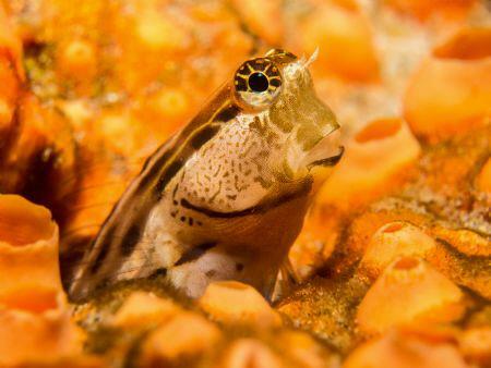 Ecsenius nalolo in a Cliona sp. sponge by Jenny Strömvoll