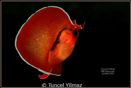 Sea slug, taken 22.7.2015 at depth of approx 20m. by Tuncel Yilmaz