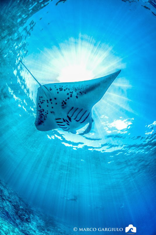 Manta Ray and SunRays by Marco Gargiulo