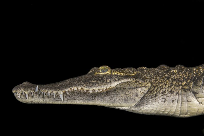 American crocodile swimming in a cenote on the edge of th... by Craig Mcinally