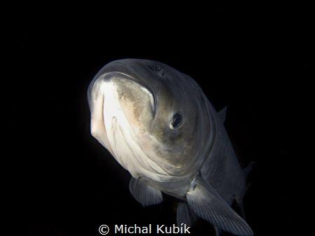 Big Head carp  (Hypophthalmichthys nobilis) at night by Michal Kubík