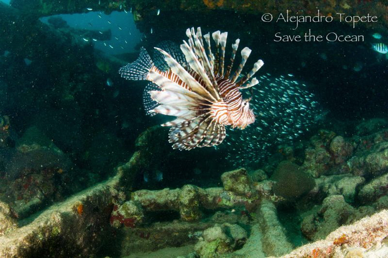 Lion Fish in Wreck, Isla Lobos Mexico by Alejandro Topete