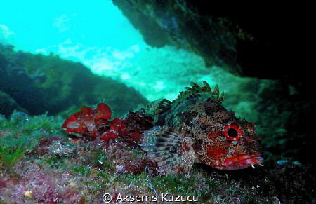 scorpionfish resting by Aksems Kuzucu
