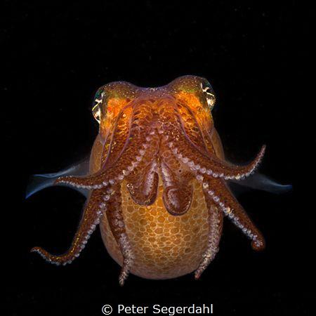 Sepietta oweniana Shot during a night dive. by Peter Segerdahl