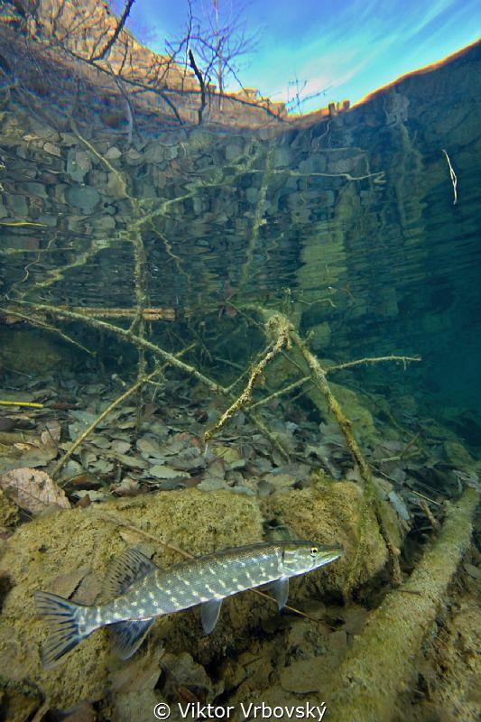 Pike in a flooded quarry by Viktor Vrbovský