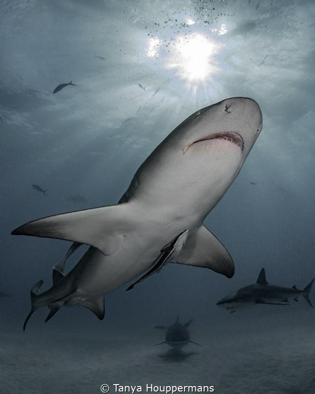 Three's Company A lemon shark, tiger shark, and Caribbea... by Tanya Houppermans
