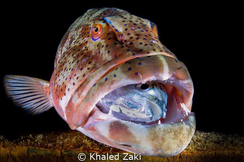 No way out   Giant Grouper breakfast , by Khaled Zaki