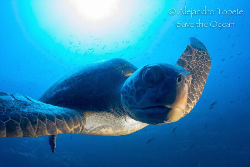 Green Turtle in shadow, Darwin Island Galápagos by Alejandro Topete