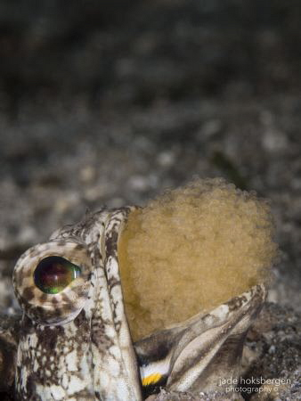 Children are a Mouthful: a mouthbrooding Dusky Jawfish ae... by Jade Hoksbergen