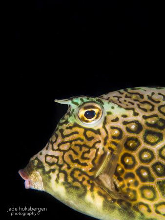 Pouty Honeycomb Cowfish (Acanthostracion polygonius) by Jade Hoksbergen