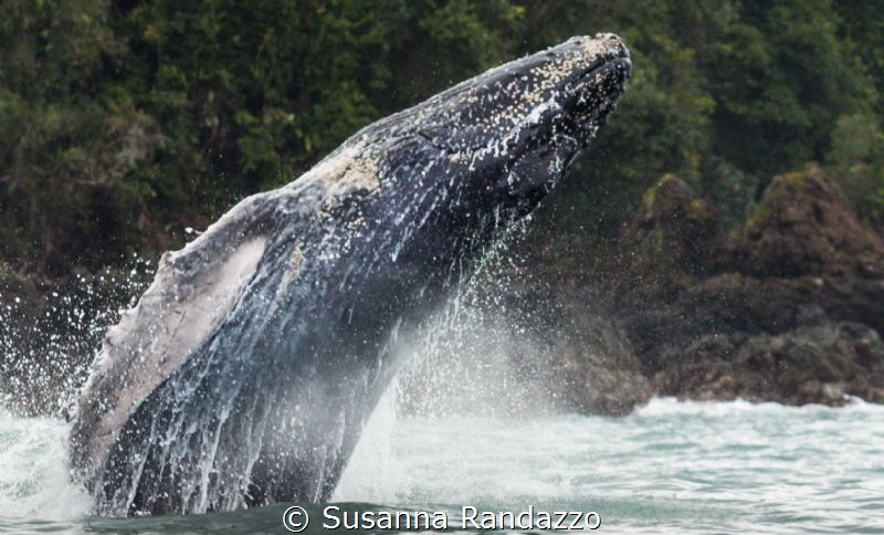 humpback whale breaching by Susanna Randazzo