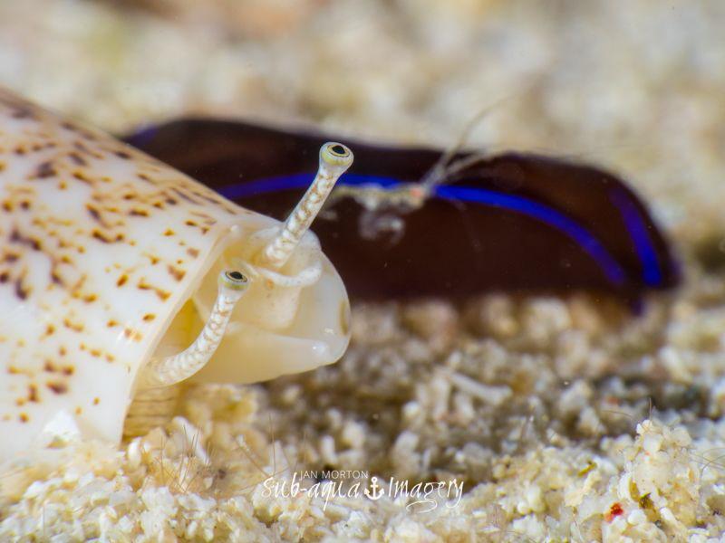 The Race Snail, Skeleton Shrimp and Velvet Nudibranch at... by Jan Morton