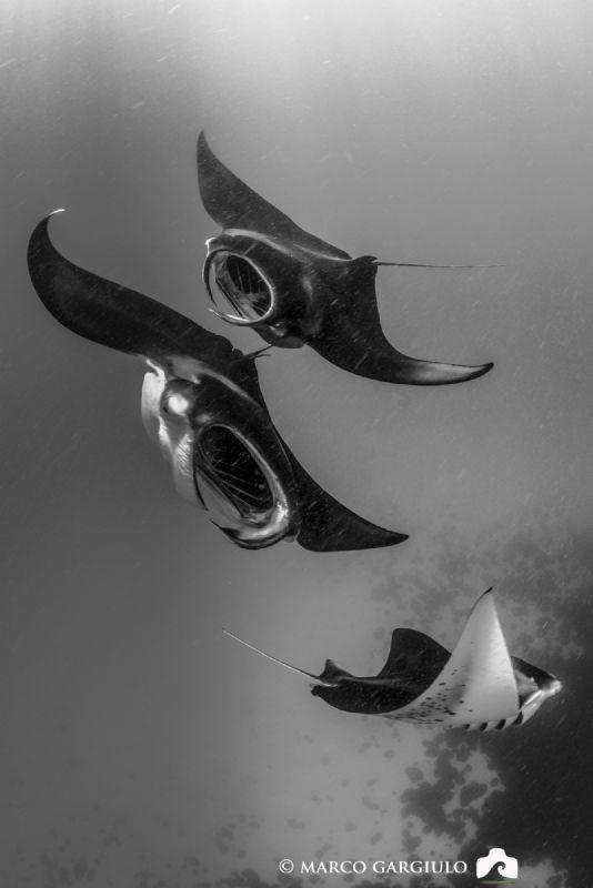Manta Trio by Marco Gargiulo