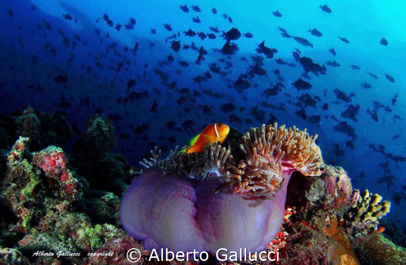 Maldivian reef life by Alberto Gallucci