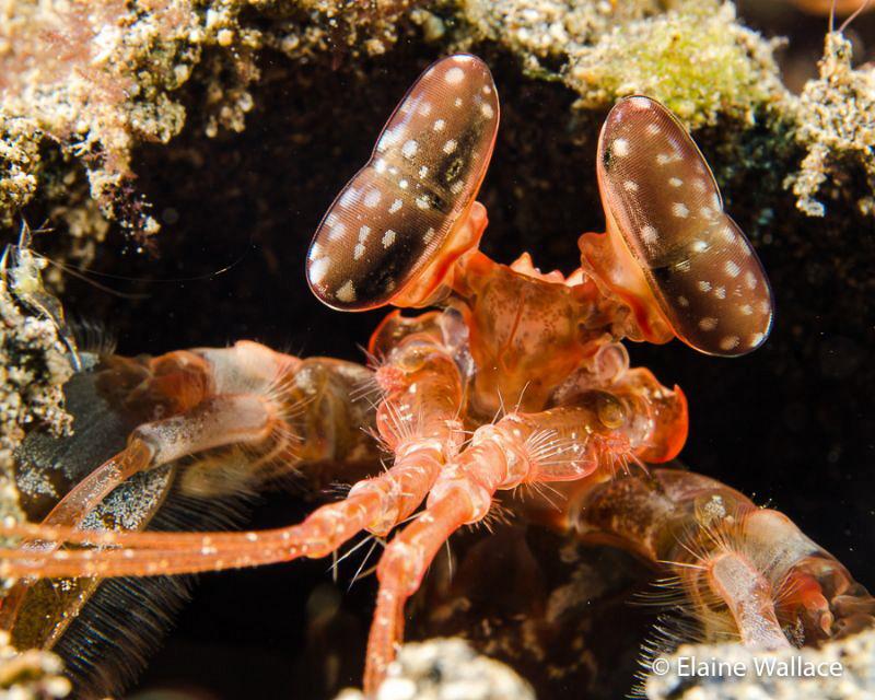 Spearing Mantis Shrimp in Bunaken National Park today. by Elaine Wallace