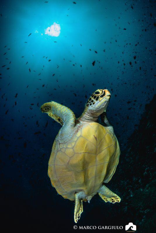 Green Turtle by Marco Gargiulo