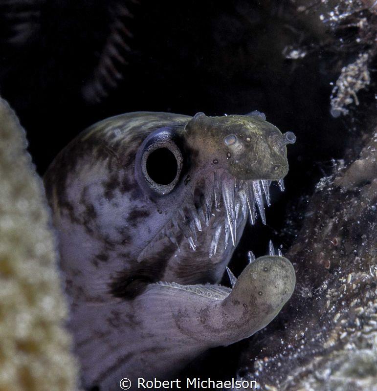 Juvenile Viper Moray, Bonaire by Robert Michaelson