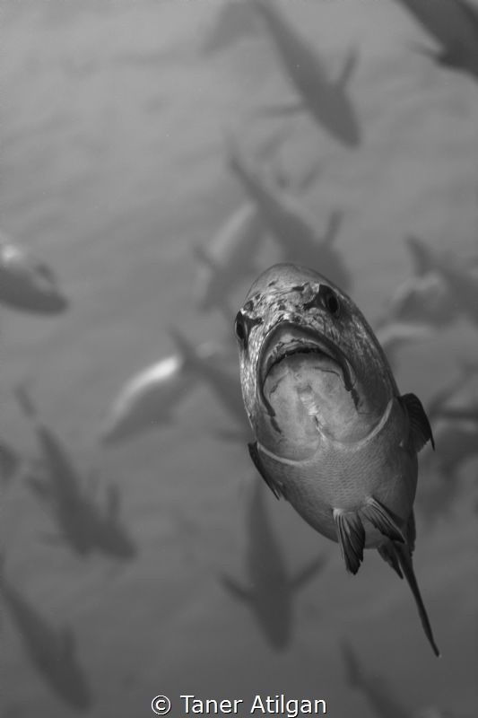 angry fish by Taner Atilgan