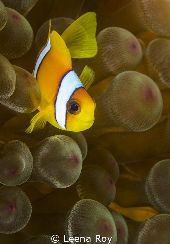 Anemonefish by Leena Roy