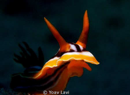 Chromodoris quadricolor by Yoav Lavi