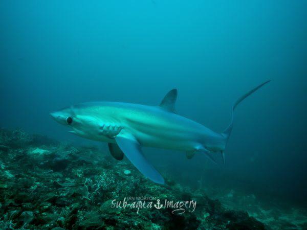 Thresher Shark Full Frame on E-M1.  Natural lighting. by Jan Morton