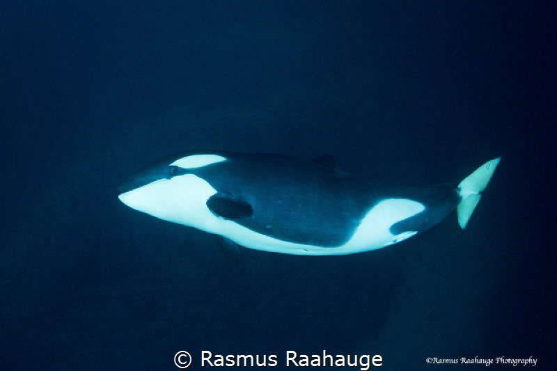 Playfull young orca by Rasmus Raahauge