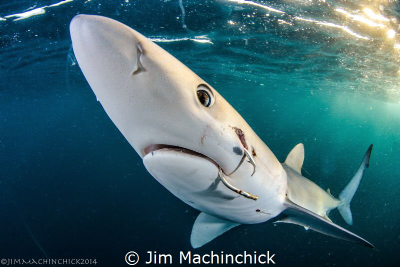 Pelagic Sharks, like this Blue Shark are under the most p... by Jim Machinchick