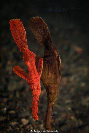 Solenostomus cyanopterus by Sergey Verderevskiy